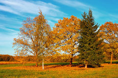 Autumn nature landscape-yellowed trees in autumn field in autumn sunny weather Stock Image