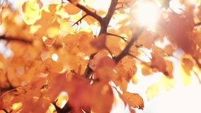 Autumn nature park golden tree leaves sway wind stock video footage