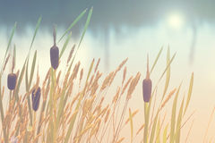 Autumn, nature and peace. Water reeds blowing gently in the wind; peaceful and serene Royalty Free Stock Image