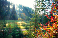Free Autumn Nature Scene. Beautiful Morning Misty Old Forest Stock Images - 77079734