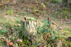 Autumn nature - stump Stock Image