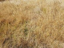 Grass dry yellow, textured background. Autumn, nature, surface, dry, season, brown stock photo