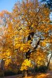 Autumn Nature View, albero con l'oro di Yelow lascia in un parco un giorno soleggiato fotografia stock libera da diritti