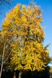 Autumn Nature View, albero con l'oro di Yelow lascia in un parco un giorno soleggiato immagine stock libera da diritti