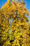 Autumn Nature View, albero con l'oro di Yelow lascia in un parco un giorno soleggiato immagini stock
