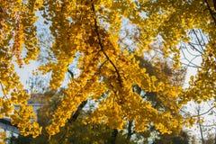 Autumn Nature View, albero con l'oro di Yelow lascia in un parco un giorno soleggiato fotografie stock