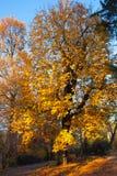 Autumn Nature View, Baum mit Yelow-Gold verlässt in einem Park an einem sonnigen Tag Lizenzfreie Stockfotografie