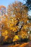 Autumn Nature View, Baum mit Yelow-Gold verlässt in einem Park an einem sonnigen Tag Lizenzfreie Stockbilder