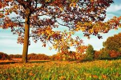 Autumn nature - yellowed autumn deciduous oak tree in autumn sunny field Stock Photography