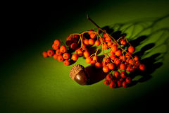 Autumn naturmort. With acorn and ashberry Royalty Free Stock Photos