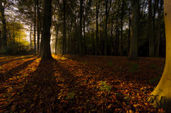 Autumn in the Netherlands. The autumn sun Shines through the dutch forest Stock Photography