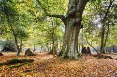 Autumn in the New Forest Stock Image