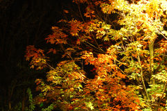 Autumn night. Beautiful tree branches in the autumn night, lit by the streetlight Stock Image