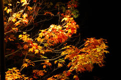 Autumn night. Beautiful tree branches in the autumn night, lit by the streetlight Stock Photography
