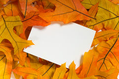 Autumn Notecard. Brightly colored autumn or fall maple leaves surrounding a blank white notecard.  Add your own text or copy Royalty Free Stock Photography