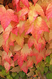 Autumn nuances. Leaves with delicate colour nuances cover a wall Royalty Free Stock Image