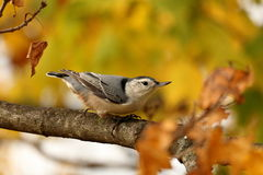 Autumn Nuthatch Fotografia Stock