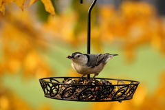 Autumn Nuthatch Imagens de Stock Royalty Free