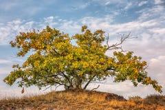 Autumn_oak Imagens de Stock