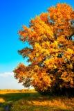 Autumn oak. Single autumn oak under a blue sky Stock Images