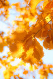 Autumn  oak 4 Stock Photo