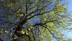 Autumn oak against the blue sky stock video