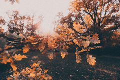 Autumn oak. In the sun Stock Image
