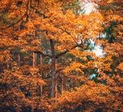 Autumn Oak Royalty Free Stock Photography