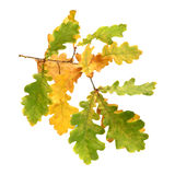 Autumn oak branch Royalty Free Stock Photo