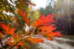 Autumn oak brunch Stock Photos