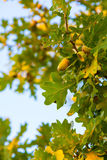 Autumn oak foliage on a blue sky background Royalty Free Stock Photography