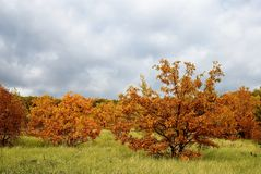Autumn oak forest Stock Image