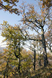 The autumn oak forest Stock Images