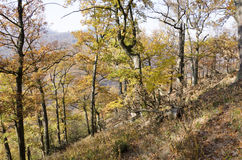 The autumn oak forest Royalty Free Stock Photo