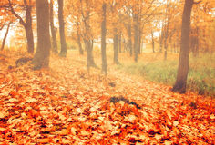 Autumn oak grove in foggy weather Stock Images