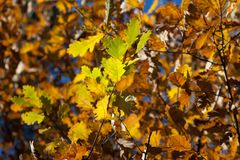 Autumn oak leaf Royalty Free Stock Images