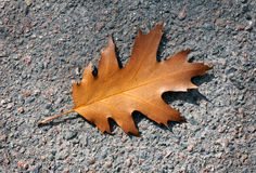 Autumn oak leaf Stock Images