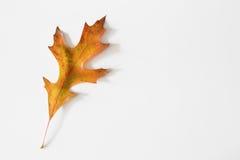 Autumn Oak Leaf Lizenzfreie Stockfotografie