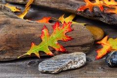 Autumn Oak Leaf on aged Driftwood Royalty Free Stock Images