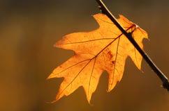 Autumn oak leaf Royalty Free Stock Image