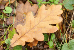 Autumn oak leaf closeup in the wild Stock Photos
