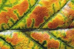 Autumn oak leaf colorful background Stock Image