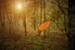 Autumn oak leaf in the forest Stock Image