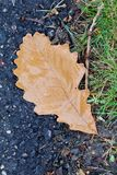 Autumn Oak Leaf humide Images libres de droits