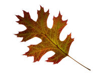 Autumn oak leaf.  Isolated. Royalty Free Stock Images