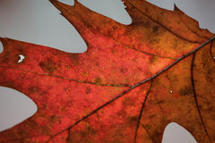 Autumn Oak Leaf Macro Stockfotos