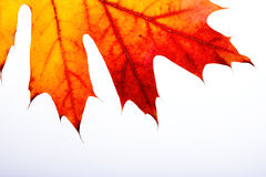 Autumn Oak Leaf Macro Lizenzfreie Stockfotografie