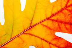 Autumn Oak Leaf Macro Stockfotografie