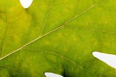 Autumn Oak Leaf Macro Lizenzfreie Stockbilder