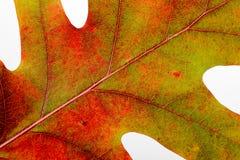 Autumn Oak Leaf Macro Lizenzfreie Stockfotos